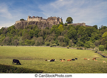 Stirling Castle - Cows in Pasture at Stirling Castle in...