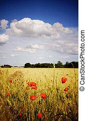 Cornfield with poppies - A cornfield with poppies on a...