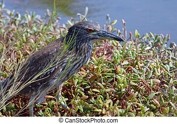 Big Island Heron - Grey Heron stands in the short foliage...