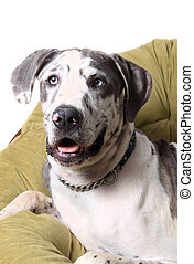 Merle Great Dane - Great Dane portrait with spotted coat...