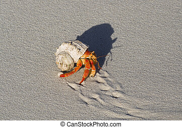 land hermit crab - Hermit crabs (Coenobita sp.) protect...