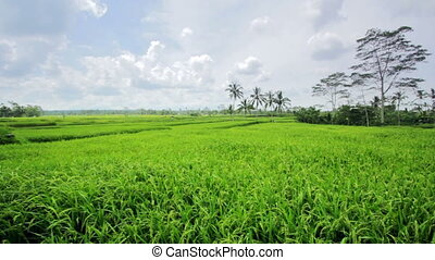 beautifful rice fields in bali