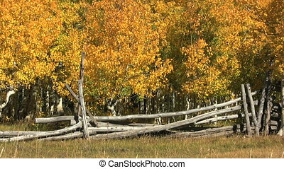 Aspens and Fence in Fall - a brilliant golden aspen grove...