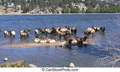 Elk Herd in Lake - an elk herd cools off in a mountain lake