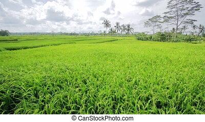 beautifful rice fields in bali