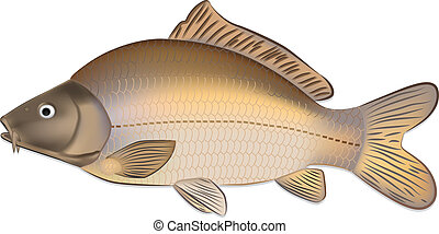 Carp fish Cyprinus carpio detailed vector illustration