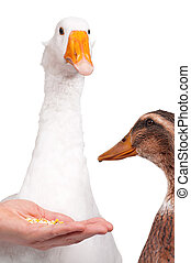 Duck and goose - White domestic goose and duck isolated on...
