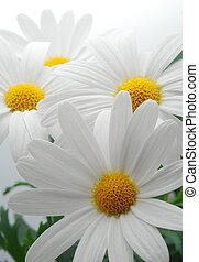 white spring marguerite - beautiful white spring marguerite...