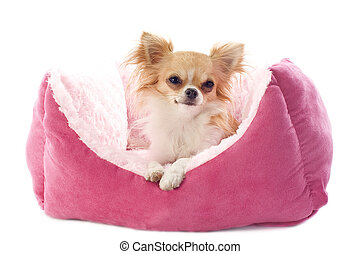 chihuahua and dog bed - portrait of a cute purebred...