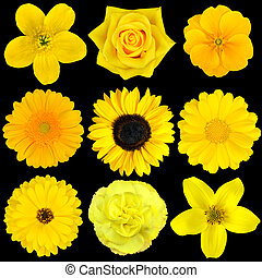 Collection of Nine Yellow Flowers Isolated on Black. Various...