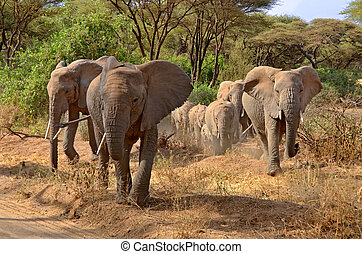 Big group of elephants walking in Lake Manyara - Big group...