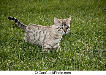 Cat prowling in the grass - Young bengal kitten prowling in...