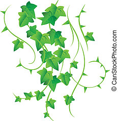 Green ivy - Vector illustration of Green ivy