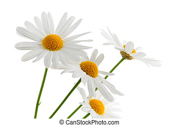 Daisies on white background - Daisy flowers isolated on...