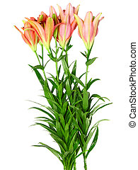Pink lilies on white background. Isolated. - Pink lilies on...