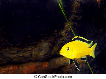 Aquarium Fish- Cichlid Hummingbird Yellow.(Labidochromis...