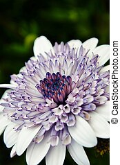 African Daisy - Close up of beautiful african daisy flower