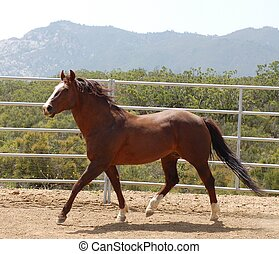Chestnut Horse - Chestnut horse exercises while running...