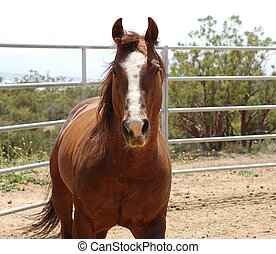 Chestnut Horse - Chestnut horse stops for the camera while...