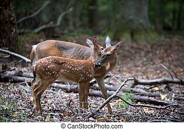 White-tailed deer fawn and doe - Whitetailed deer fawn and...