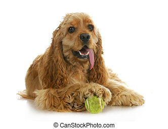 dog playing ball - american cocker spaniel with paw on a...