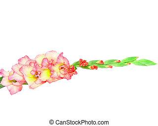 rosa, gladiolo, aislado, blanco