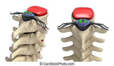 Human spine in details: Vertebra