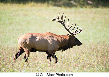 American elk bull in an open meadow during the rut