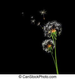 dandelions - two dandelions in wind on light blue background