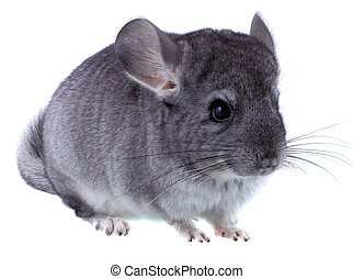 Gray ebonite chinchilla on white background Isolataed