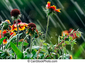Summer rain - Image shows garden flowers been hit by summer...