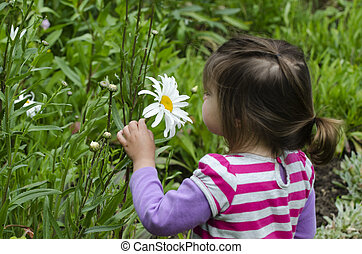 Girl smells daisy flower - Little girl smells a big and tall...