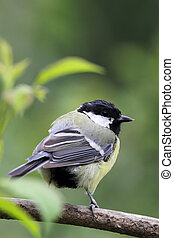Great Tit Parus major sitting on a branch