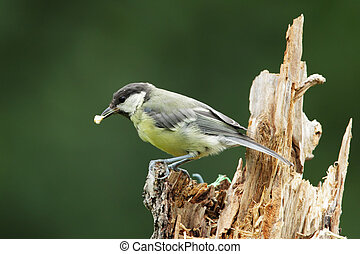 Great Tit (Parus major) sitting on a tree stump.