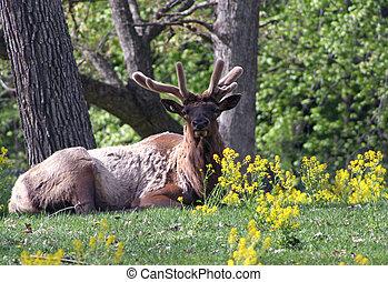 elks antlers in velvet - elks antlers starting to grow...