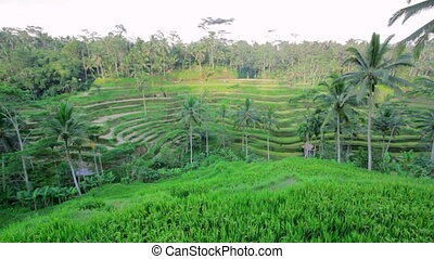 Tegalalang rice terrace, bali, indonesia
