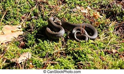 Snake - Autumn snakes behave very sluggishly