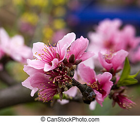 Peach Blossom close China - Peach Blossom Close Macro,...