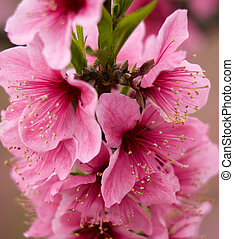Pink Peach Blossoms Close Up Macro Village, Chengdu,...