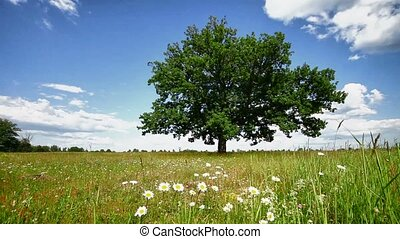 Oak tree on a meadow - Lone oak tree on a summer meadow