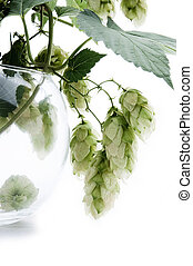 Humulus on an isolated background - Humulus, a tree branch...