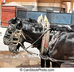 Portrait of two harnessed black horses