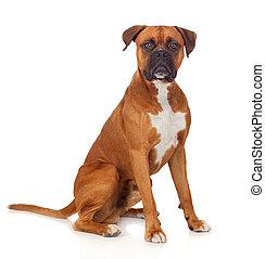 hermoso, Boxeador, perro