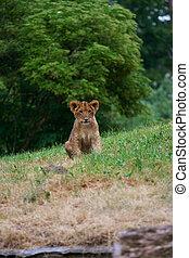 csinos, közelkép, oroszlán, kölyök
