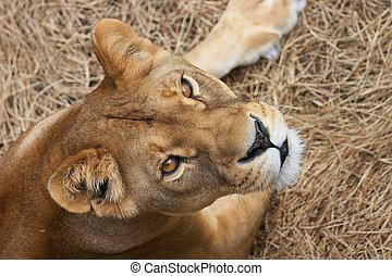 Portrait of Lioness - close up