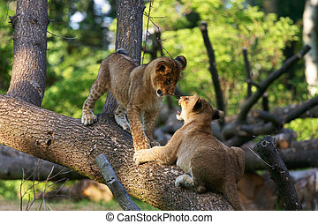 Two young lions together