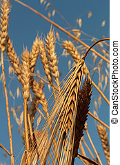 wheat,oat and barley