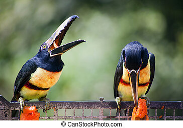 Toucan Birds Eating - Two toucan birds eating on a metal...