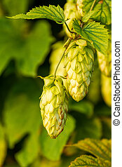 Humulus-plant - raw material for production beer