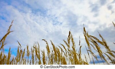 Dry steppe reeds against the sky - The dry steppe reeds...